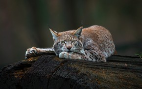Картинка взгляд, морда, природа, поза, темный фон, дерево, отдых, лапы, лежит, бревно, рысь, дикая кошка