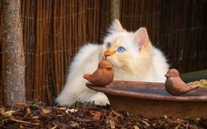 Картинка кошка, кот, взгляд, котенок, забор, портрет, чаша, пушистый, рыжий, двор, лежит, птички, котёнок, голубые глаза, …