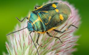 Картинка макро, зеленый, фон, растение, жук, пух, насекомое, жучок, клоп