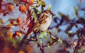 Картинка листья, ягоды, птица, размытие, ветка, воробей, боке