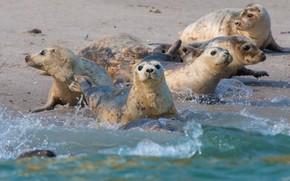 Картинка море, волны, брызги, берег, тюлень, купание, компания, морской котик, друзья, морские котики, ластоногие, тюлени