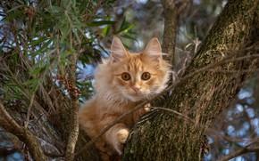 Картинка кошка, кот, взгляд, ветки, дерево, рыжий, на дереве, котейка