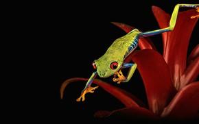 Картинка цветок, макро, красный, поза, лягушка, лапки, лепестки, черный фон, красноглазая квакша