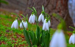 Картинка Цветы, Подснежники, Snowdrops