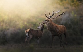 Картинка взгляд, природа, поза, олень, пара, олени, боке, самка, самец, олениха