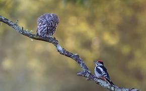 Картинка птицы, фон, сова, две, ветка, дятел, пара, парочка, дуэт, сыч