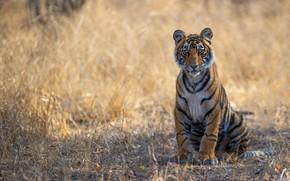 Картинка трава, взгляд, природа, тигр, поза, фон, лапы, сидит, дикая кошка, тигренок, молодой, тигрёнок
