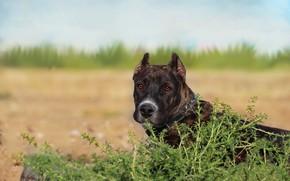 Картинка фон, друг, собака, питбуль