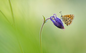 Картинка цветок, макро, сиреневый, бабочка, зеленый фон, водосбор, аквилегия