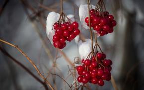 Картинка зима, снег, ягоды, ветка, плоды, красные, гроздья, калина