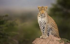 Обои взгляд, морда, ветки, природа, поза, фон, камень, лапы, леопард, сидит, дикая кошка, размытый фон, важный