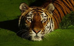 Картинка морда, тигр, купание