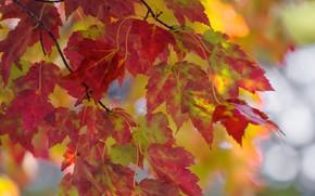 Картинка осень, листья, ветки, клён