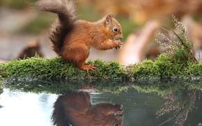 Картинка вода, природа, отражение, берег, мох, орех, белка, водоем, вереск