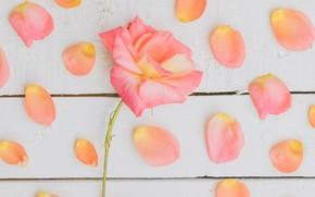 Картинка фон, розы, лепестки