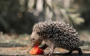 Картинка иголки, природа, серый, фон, еда, ветка, зверек, ежик, томат, ёжик, боке, овощ, помидорка, еж, ёж