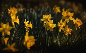 Картинка цветы, темный фон, поляна, весна, желтые, нарциссы