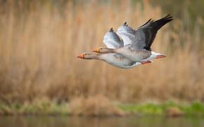 Картинка flight, feathers, ducks