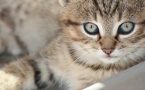 Картинка кошка, взгляд, мордочка, котёнок, котейка