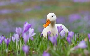 Картинка цветы, весна, крокусы, белая, уточка, утка