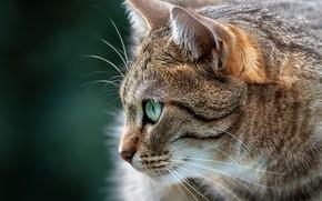 Картинка кошка, кот, фон, портрет, мордочка, профиль, котейка
