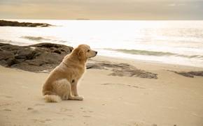 Картинка песок, море, пляж, лето, собака, summer, golden, лабрадор, beach, sea, seascape, dog, sand, labrador, ретривер, …