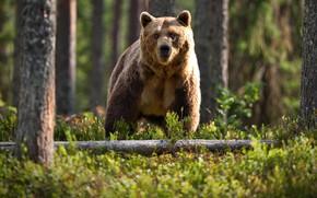 Картинка лес, деревья, природа, животное, стволы, хищник, медведь, бурый, Александр Перов