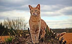 Картинка кошка, рыжая, природа