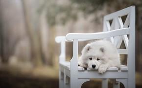 Обои грусть, белый, взгляд, листья, скамейка, природа, поза, парк, фон, собака, лапы, малыш, лавочка, щенок, лежит, ...