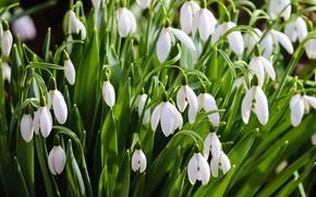 Картинка цветы, весна, подснежники, белые, много