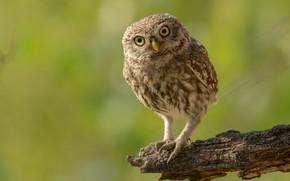 Картинка взгляд, природа, поза, зеленый, фон, сова, птица, сук, сыч, сычик