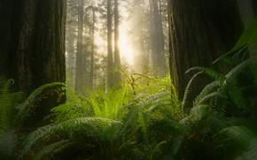 Картинка лес, солнце, туман, папоротник, секвойи