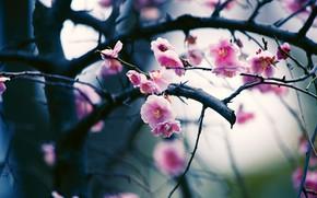 Картинка цветы, ветки, вишня, фон, размытие, весна, сакура, розовые, цветение, боке