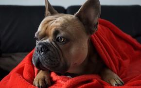 Картинка собака, ткань, бульдог, собачка, пёс, французкий бульдог