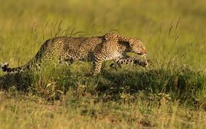 Картинка поле, трава, поза, гепард, профиль, прогулка, крадется