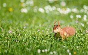 Картинка зелень, лето, трава, поляна, белка, боке