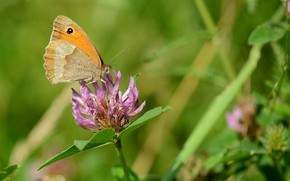 Картинка поле, цветок, лето, бабочка, клевер, воловий глаз