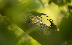 Картинка макро, ветка, пара, жуки, два, боке, соперники, жук-олень, два жука, жуки-олени