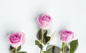 Картинка розы, розовые, бутоны, pink, flowers, roses