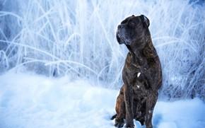 Картинка зима, снег, собака, Кане-корсо, Оксана Сироштан