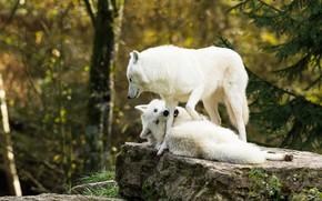 Картинка белый, природа, камень, лапа, волк, укус, волки, белые, два, арктический, заигрывание, два волка