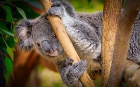 Картинка природа, фон, коала