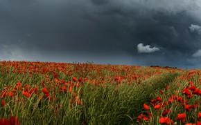 Картинка поле, небо, цветы, тучи, маки, красные, грозовые, маковое поле