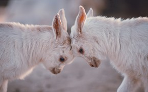 Картинка природа, фон, baby goats