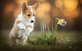 Картинка цветок, собака, корги