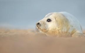 Картинка песок, взгляд, фон, берег, тюлень, малыш, мордашка, морской котик