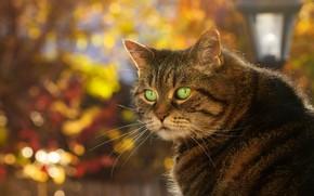 Картинка осень, кот, морда, фон, портрет, боке
