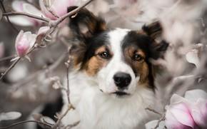Картинка взгляд, морда, ветки, портрет, собака, цветки, магнолия