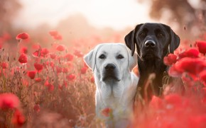 Обои поле, собаки, белый, лето, взгляд, цветы, настроение, поляна, черный, две, маки, собака, луг, пес, пара, ...