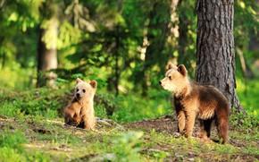 Картинка лес, свет, медведи, пара, малыши, медвежата, два, бурые, два медвежонка